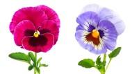 Das Garten-Stiefmütterchen blickt auf eine lange Geschichte zurück und ist in unzähligen Hybridformen aus verschiedenen Wildarten gezüchtet worden.