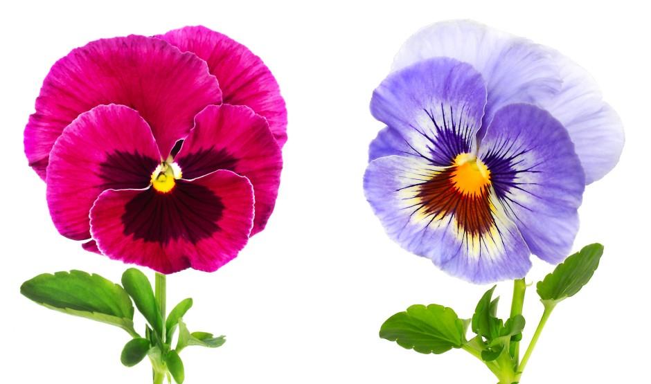 bilderstrecke zu pflanzen f r kenner von wegen lila veilchen bild 1 von 12 faz. Black Bedroom Furniture Sets. Home Design Ideas
