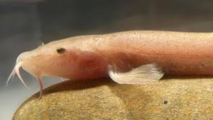 Der erste Höhlenfisch Europas