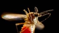 Zika-Überträger: Weibliche Aedes-Mücke nach der Blutmahlzeit.
