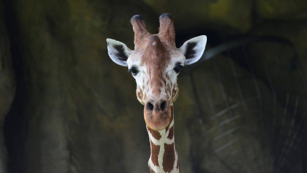 Giraffen sind eine gefährdete Art