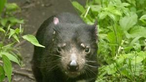 Rottet Gesichtskrebs den Tasmanischen Teufel aus?