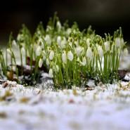 Gute Wetterbedingungen für die Schneeglöckchen: Der Winter in Europa war so warm wie noch nie.