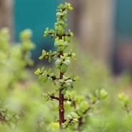 Wirbel um eine südafrikanische Pflanze: Sie wird Spekboom genannt, ist eine Sukkulente und soll große Mengen an Kohlendioxid schlucken.