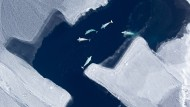 Bei einem plötzlichen Kälteeinbruch könnten die Belugas im Eis stecken bleiben.