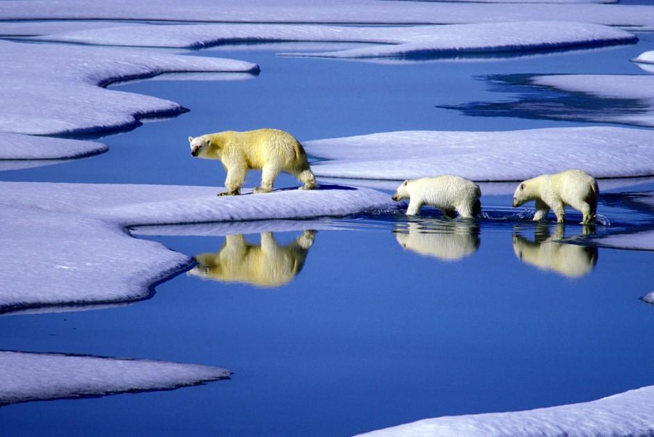Immer mehr Tierarten weltweit sind vom Aussterben bedroht, unter anderem auch der Eisbär.