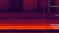 5 Zikadenarten, die sich in ihrer Ruffrequenz nicht überlappen