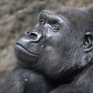 Von Affen können wir viel lernen. Hier ist ein Gorilla-Weibchen aus dem Frankfurter Zoo zu sehen.