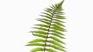 Der Doldschuppenfarn (Dyropteris affinis) wird bis zu zwei Metern hoch und wächst in deutschen Buchen- und Tannenwäldern.