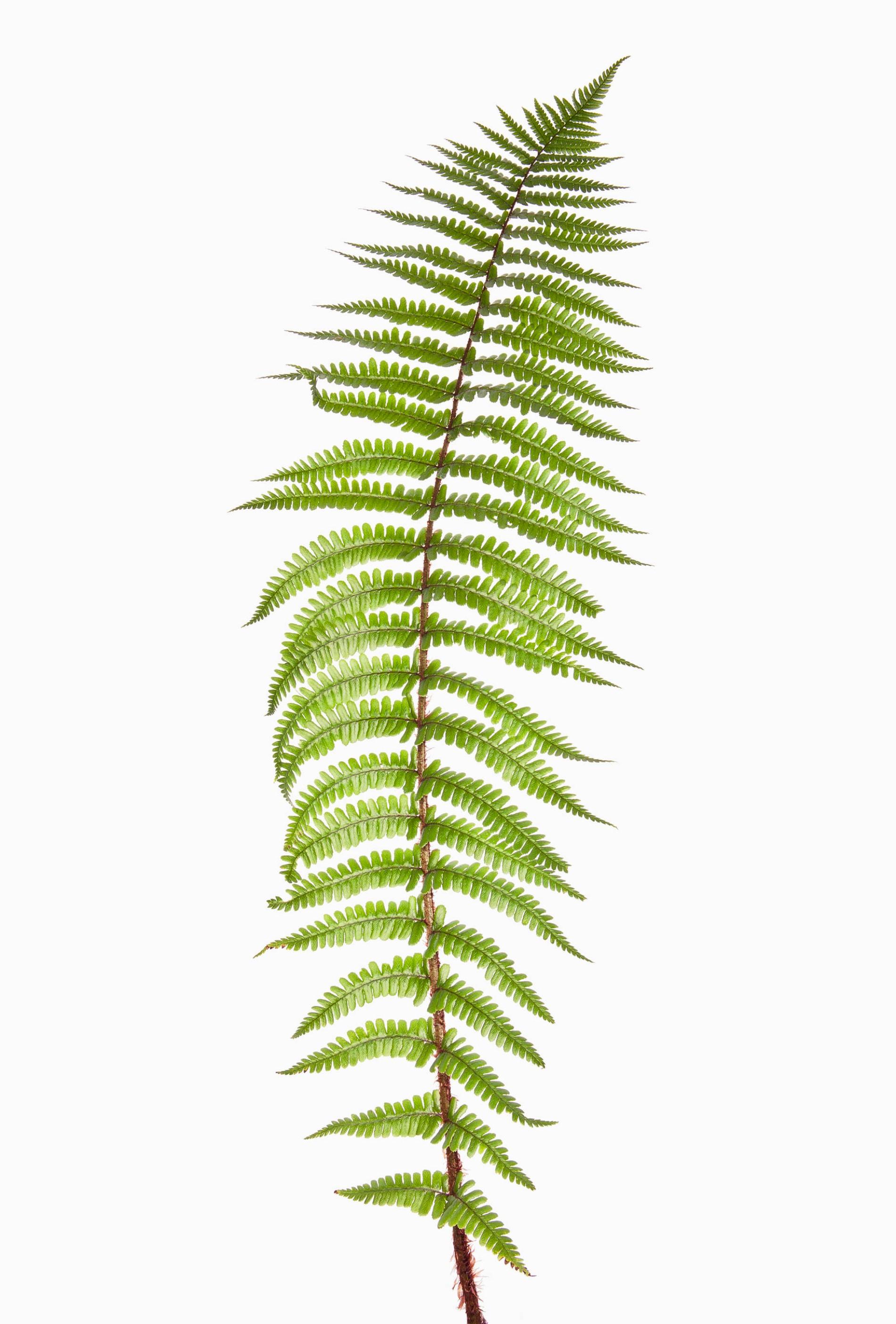 BAUMFARN Farne existieren schon seit Millionen von Jahren.