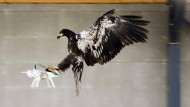 Adler sollen Drohnen aus dem Weg räumen