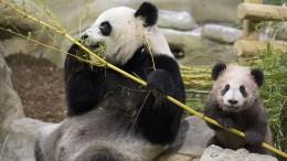 Kleiner Panda begeistert Franzosen