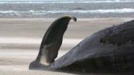 Tote Wale auch an niederländischer Küste
