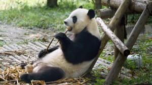 Riesenpandas sind weiter gefährdet