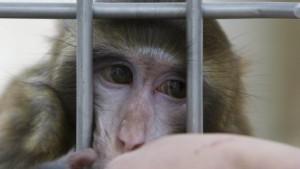 Forschung an Affen muss erlaubt werden
