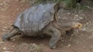 Riesenschildkröte rettet Art im Alleingang