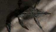 Fossil eines 93 Millionen Jahren alten Meeresdinosauriers vorgestellt
