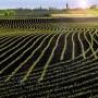 Der Mais ist heiß - nur Genmais wollen Deutschlands Bauern bisher selten anpflanzen.