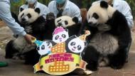 Riesige Geburtstagsparty für junge Panda-Drillinge