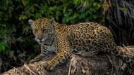 Reisen durchs Naturparadies Pantanal