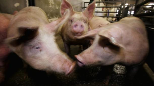Um Mastschweine geht es nur am Rande