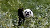 Panda-Kot als Grundlage für Bio-Kraftstoff?