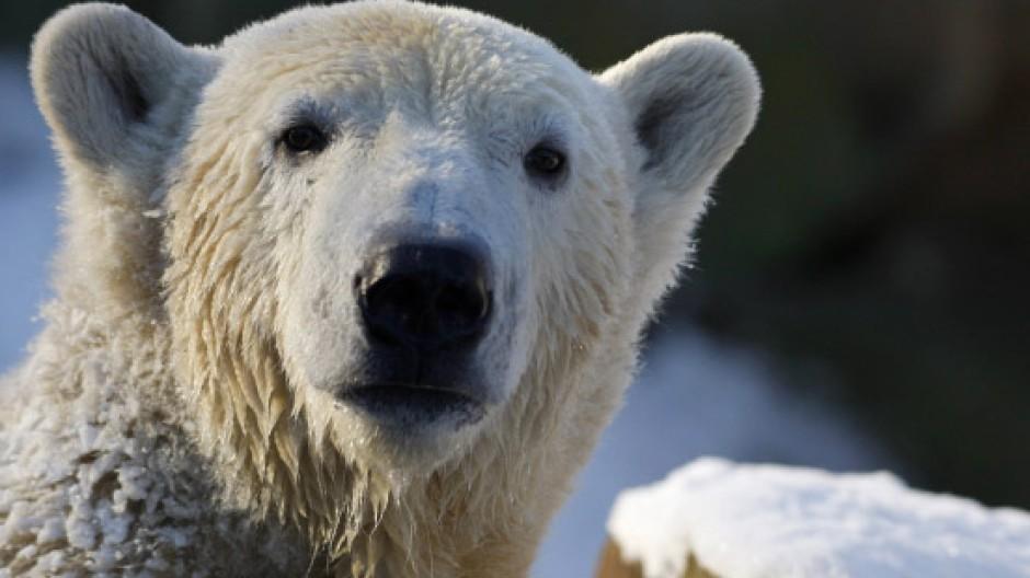 Ist Knut ein Außenseiter gewesen?