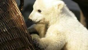 Knut krabbelt an die Börse