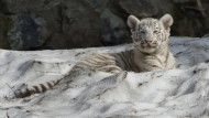 Tigerbaby wird von Geschwistern gerettet