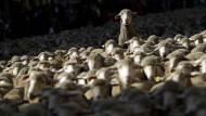 Tausende Schafe in Madrider Innenstadt