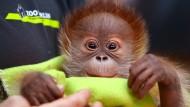 Orang-Utan-Baby Rieke stellt sich vor