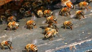 Bayer und das Bienensterben