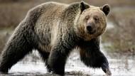 Grizzlybär in Yellowstone nicht mehr gefährdet