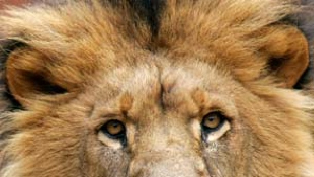Das Wandern ist des Löwen Lust