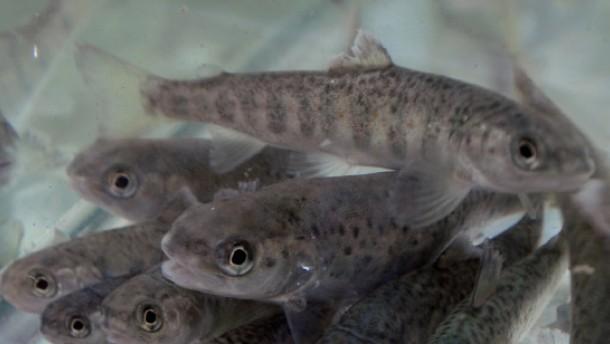 Wilde und transgene Lachse sind Paarungsrivalen