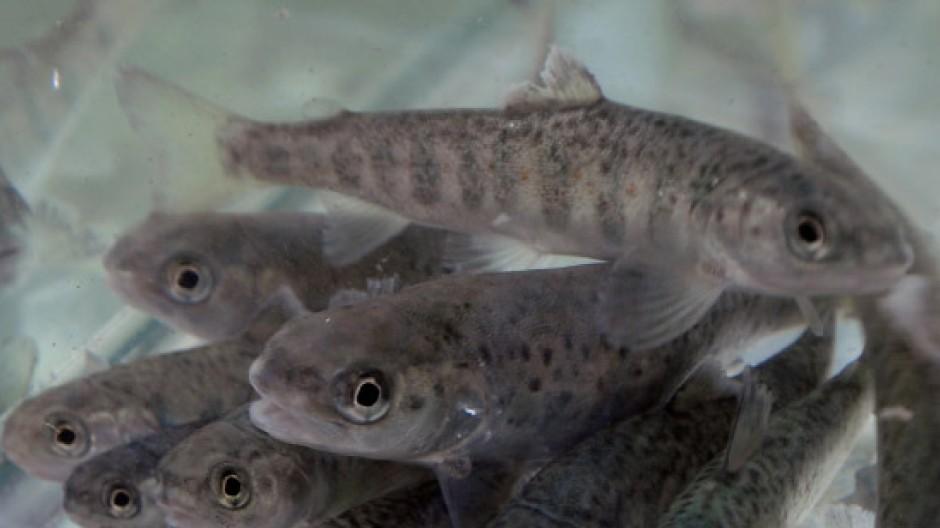 Einjährige Lachse in Gefangenschaft