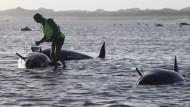 Dutzende Wale gerettet