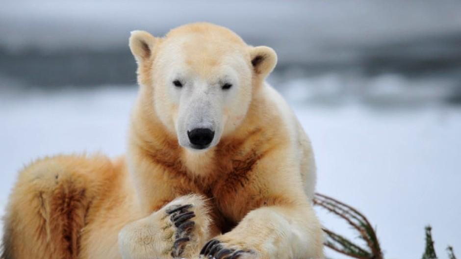 Knut im Dezember 2010