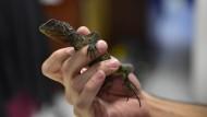 Mini-Drachen in den Anden gefunden