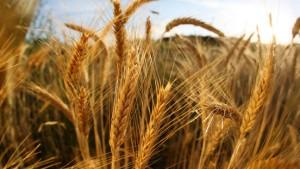 Mittelmäßige Ernte