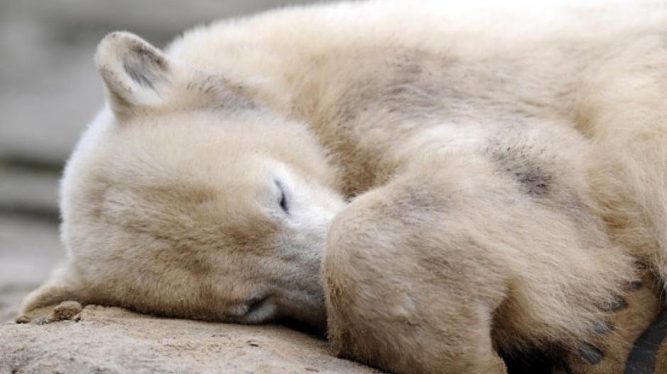 Knut vor drei Jahren in seinem Gehege