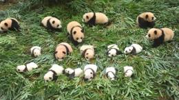 Kleine Pandas, großer Trubel