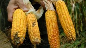 Monsanto klagt gegen deutsches Genmais-Verbot
