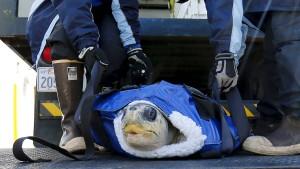Verirrte Meeresschildkröten kommen zur Erholung nach SeaWorld