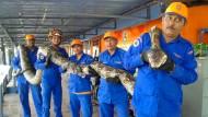 Weltrekordverdächtige Python entdeckt