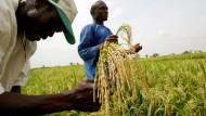 Bauern in Burkina Faso bei der Reisernte