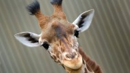 Giraffen beim Futtern