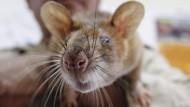 Ratten spüren Minen auf