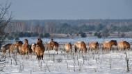 Die Natur erobert sich Tschernobyl zurück
