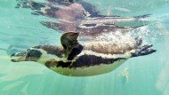 Pinguine in Brasilien gelandet